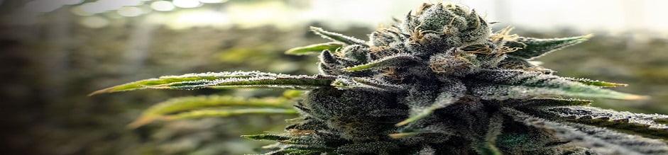 cbd-flower-for-smoking